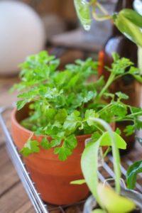 パセリを自宅で栽培する